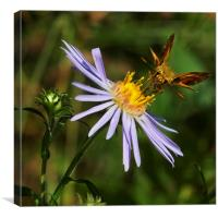 Moth feeding on Aster Dragon, Canvas Print