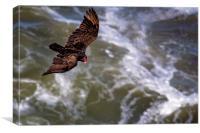 Turkey Buzzard Flying, Canvas Print