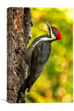 Female Pileated Woodpecker No. 2, Canvas Print