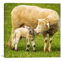 Mama Had a Little Lamb, Canvas Print
