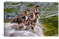 10 Little Mergansers on a Rock, Canvas Print