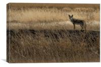 Coyote at Malheur No. 2 cropped, Canvas Print