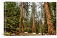 Sequoias in the Fog, Canvas Print