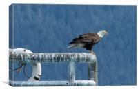 Bald Eagle of Resurrection Bay, No. 3, Canvas Print