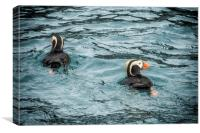 Tufted Puffin Pair, Canvas Print