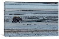 Brown Bear Looking For Clams, Canvas Print