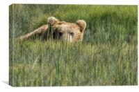 Being Watched by a Big Brown Bear, Canvas Print