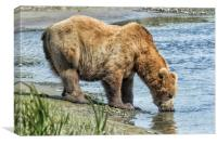 Thirsty Big Brown Male Bear, Canvas Print
