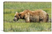 Brown Bear Grazing, Canvas Print