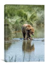 Brown Bear Cub Crossing a Stream, Canvas Print