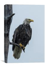 Drenched Eagle, Canvas Print