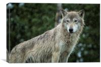 Tundra Wolf in the Rain, Canvas Print