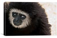 Gibbon, Canvas Print
