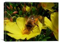 Honeybee, Canvas Print
