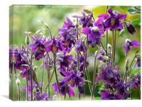 Aquilegia Purple Flowers, Canvas Print