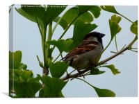 House Sparrow in Gingko Biloba Tree, Canvas Print