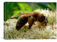 Bee on Tree Blossom, Canvas Print