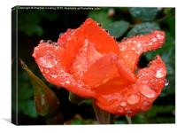 Warm Welcome - Rose - Water Droplets, Canvas Print