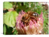 Honey Bee on Cirsium, Canvas Print