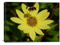 Bee Hovering over Lemon Queen, Canvas Print