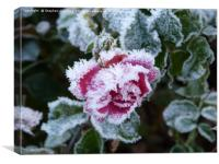 Frosted Rose, Canvas Print