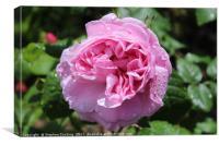 Mary Rose - Shrub rose, Canvas Print
