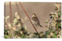 Sparrow in the evening sunshine, Canvas Print
