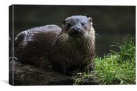 JST2620 British Otter, Canvas Print