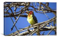 JST2729 Red and Yellow Barbet, Canvas Print