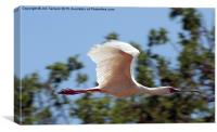 JST3147 African Spoonbill 3, Canvas Print