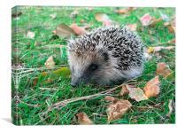 Young Hedgehog, Canvas Print