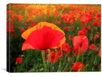 Bright Red Poppy in the Sun, Canvas Print