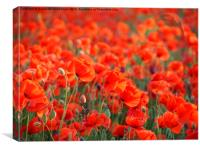 Poppies Galore, Canvas Print