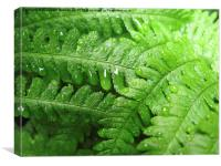Green Bracken with  Raindrops, Canvas Print