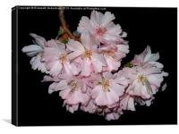 Prunus Blossom on Black, Canvas Print