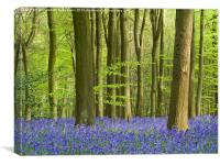 Bluebell Woodland in Hertfordshire, Canvas Print