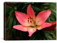 Asian Lily, Renoir, Canvas Print
