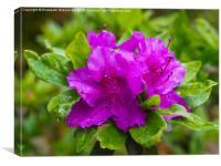 Purple Azalea after Rain, Canvas Print