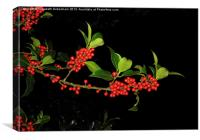 Sprig of Holly Berries on Black, Canvas Print
