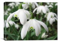 Snowdrop group, Canvas Print