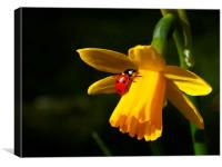 Ladybird on Daffodil in Sunshine, Canvas Print