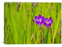 Crocuses Peeping Through, Canvas Print
