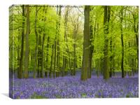 Bluebells at their best, Canvas Print
