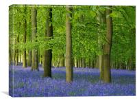 Bluebells in Hertfordshire, Canvas Print