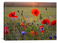 Poppies and cornflowers in evening sun, Canvas Print