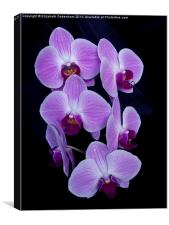 Purple Orchid; Phalaenopsis, on Black Velvet, Canvas Print