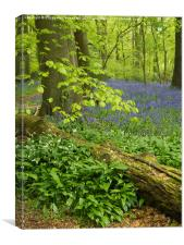 Bluebell Woodland in May , Canvas Print