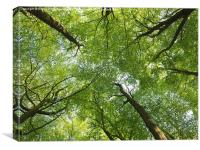Beech Treetops in Spring, Canvas Print
