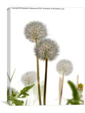 Dandelion art , Canvas Print