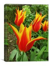 Flyaway Tulips at Chenies Manor Garden, Canvas Print